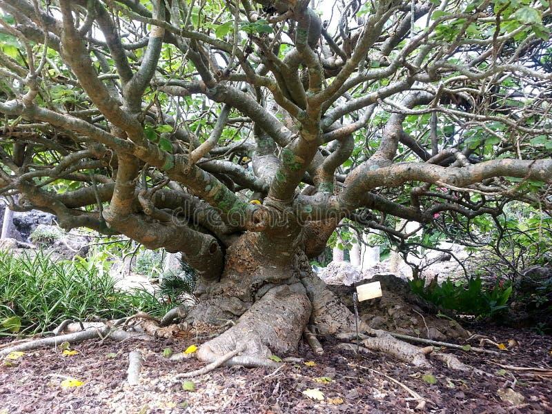 Gammalt och knotigt träd med många lemmar och en stor stam arkivfoton