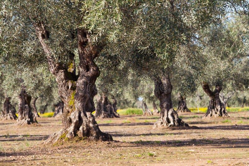 Gammalt olivträdlandskap arkivbild