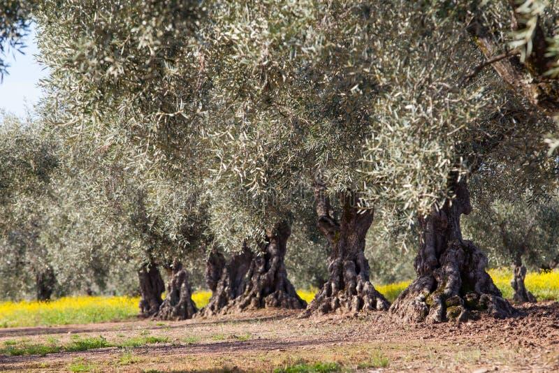 Gammalt olivträdlandskap royaltyfria foton