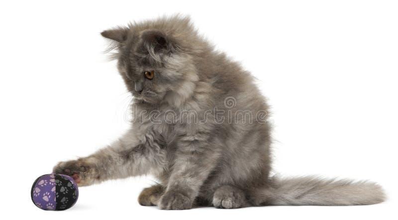 gammalt persiskt leka för 3 kattungemånader royaltyfria bilder