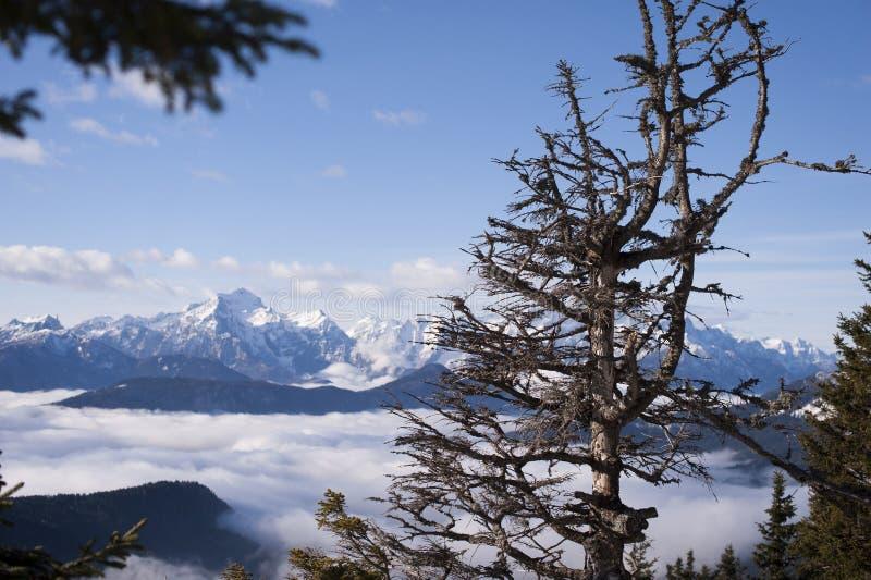 Gammalt prydligt träd med härlig bakgrundsikt av snöig fjällängar arkivfoton