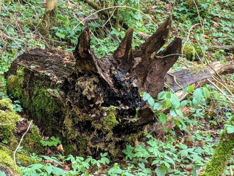 Gammalt ruttet träd som lloks som en Triceratops arkivbilder