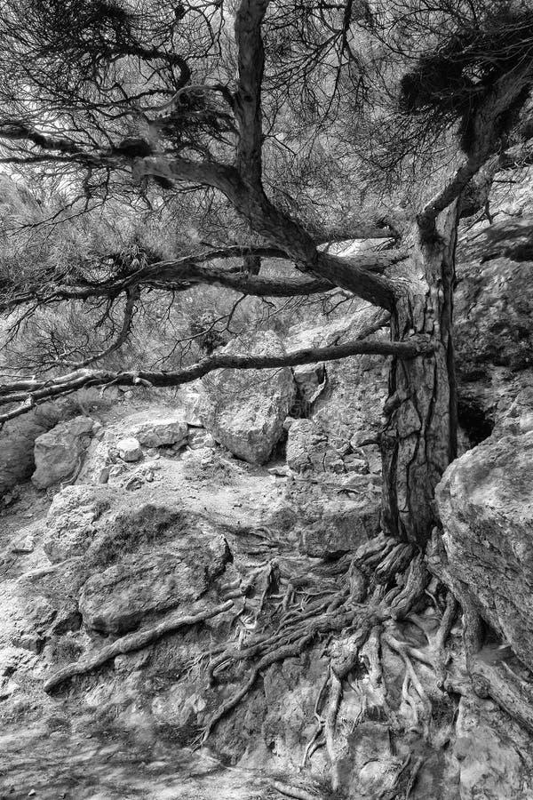 Gammalt sörja trädet med rotar royaltyfri foto