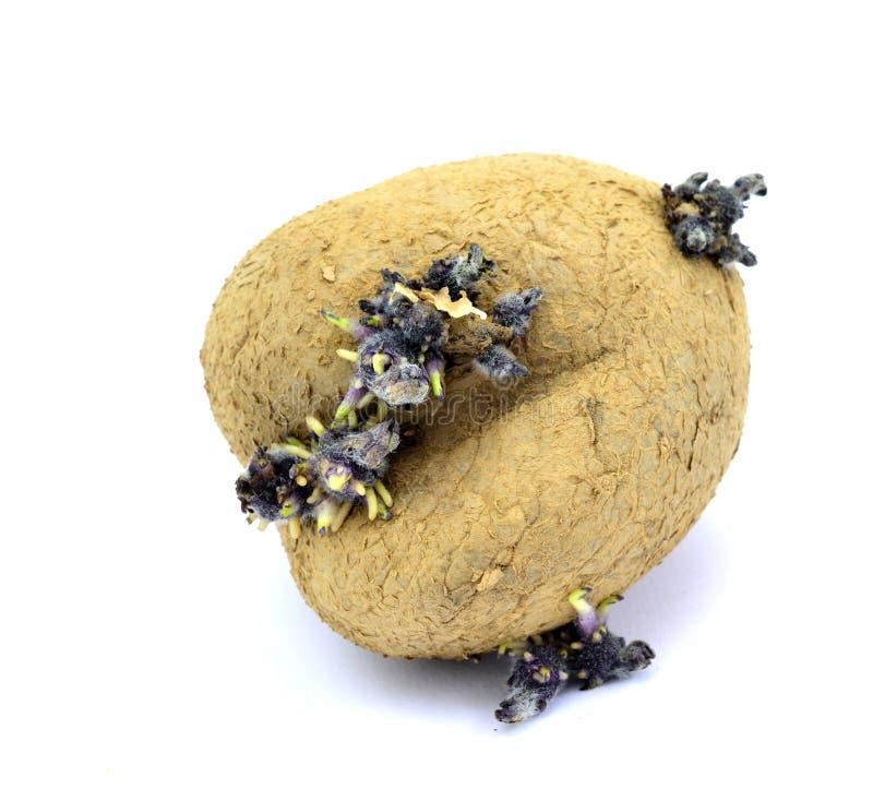 Gammalt stekhet potatis för spira som isoleras på vit royaltyfri fotografi