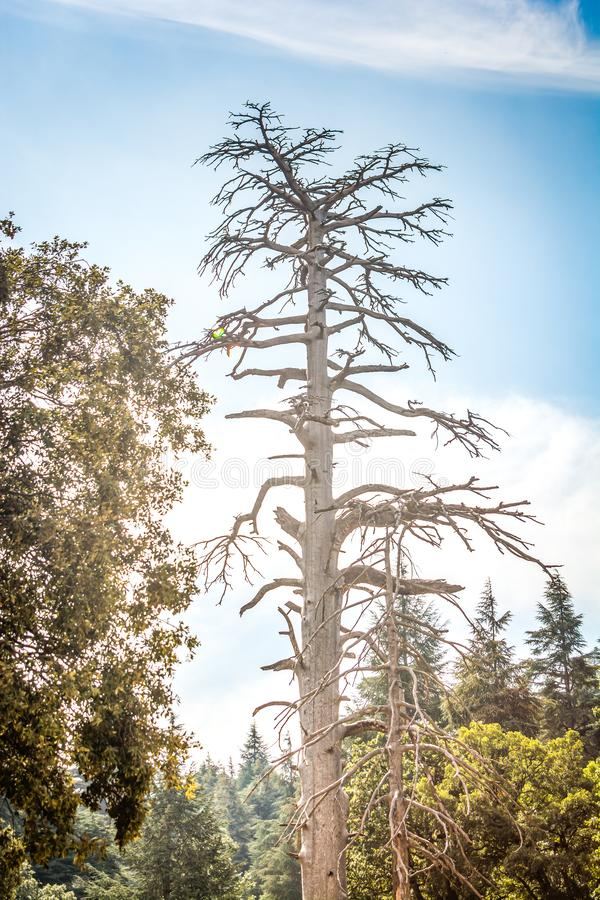 Gammalt torrt cederträträd i Azrou, Marocko arkivbilder