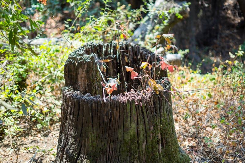 Gammalt trä i parkerar har en håll royaltyfri bild