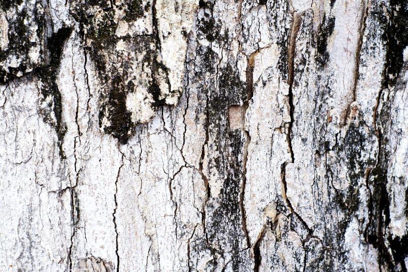 Gammalt tr? skalar i vit brunt f?r textur och svart royaltyfri foto