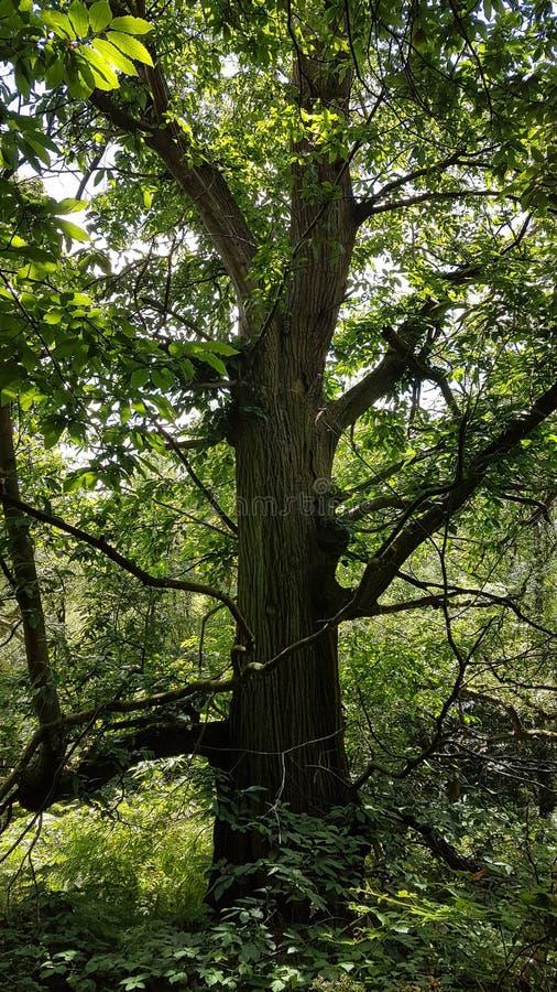 Gammalt träd av träna arkivbilder