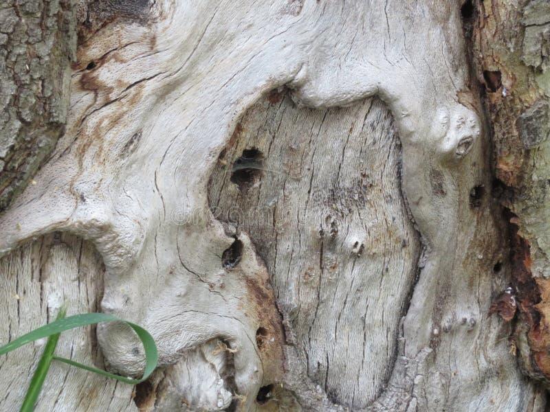 gammalt träd för sykomorträd arkivbilder