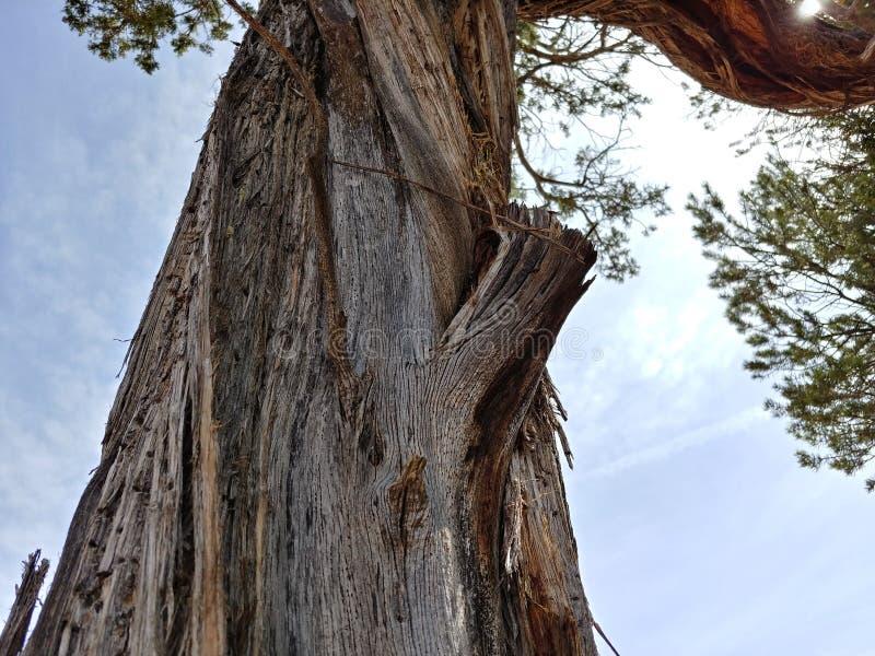 Gammalt träd i arizona royaltyfri bild