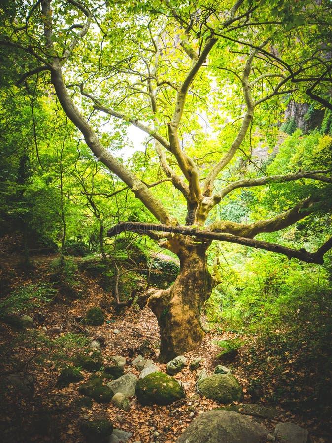 Gammalt träd i skogen runt om meteorakloster arkivfoto