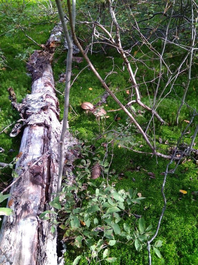 Gammalt träd i sommaren och champinjoner i skogen arkivfoton