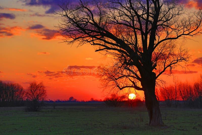 Gammalt träd i stäpp på solnedgång royaltyfri foto