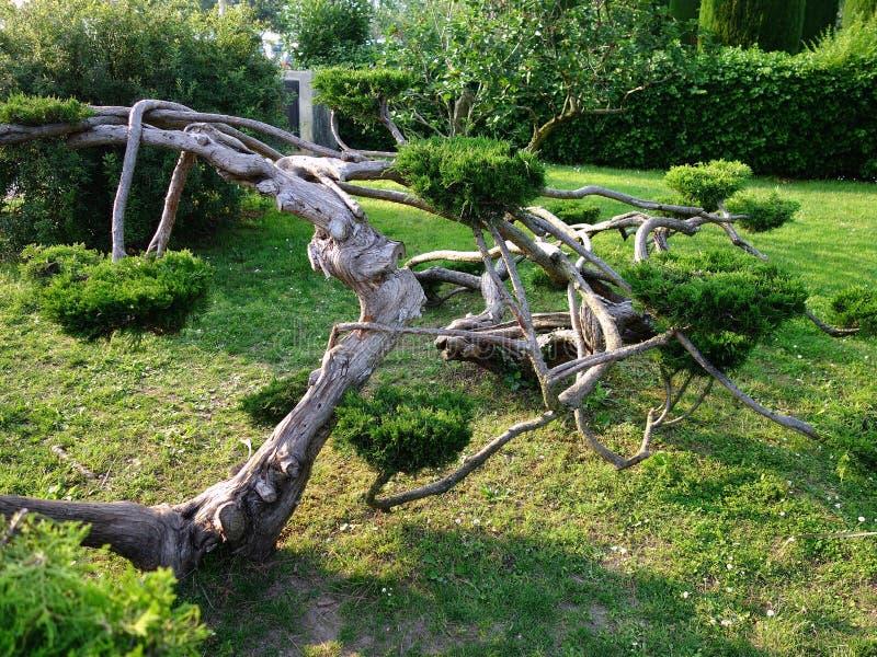 Gammalt träd med den Convoluted stammen royaltyfri bild