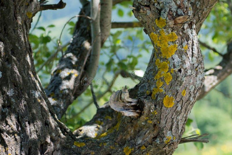 Gammalt träd med gula prickar royaltyfri foto