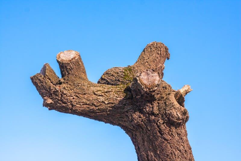 Gammalt träd med klippte filialer på blå himmel arkivbilder