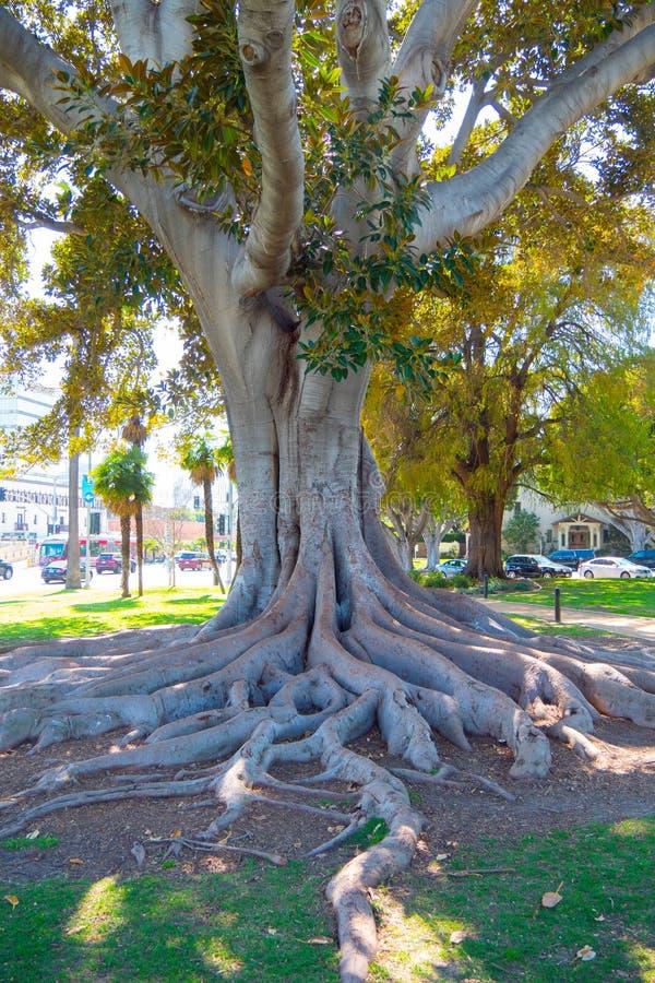 Gammalt träd på Beverly Gardens Park - KALIFORNIEN, USA - MARS 18, 2019 royaltyfria bilder