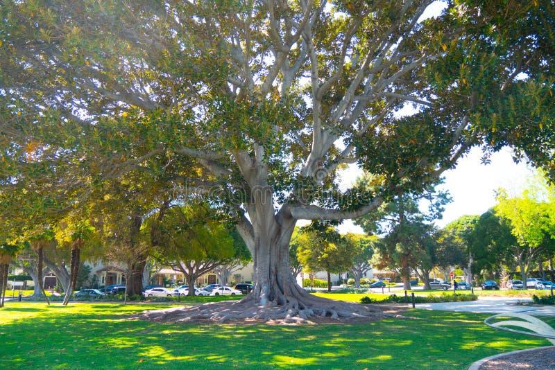 Gammalt träd på Beverly Gardens Park - KALIFORNIEN, USA - MARS 18, 2019 royaltyfri bild