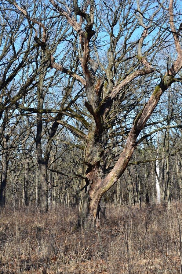 Gammalt träd som förlorar det skäll för ` s arkivbilder
