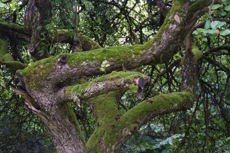 Gammalt träd som täckas med mossa- och mistelViscumalbumet royaltyfri fotografi