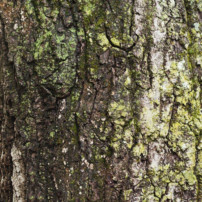 Gammalt trädskäll för naturlig texturerad bakgrund arkivfoton