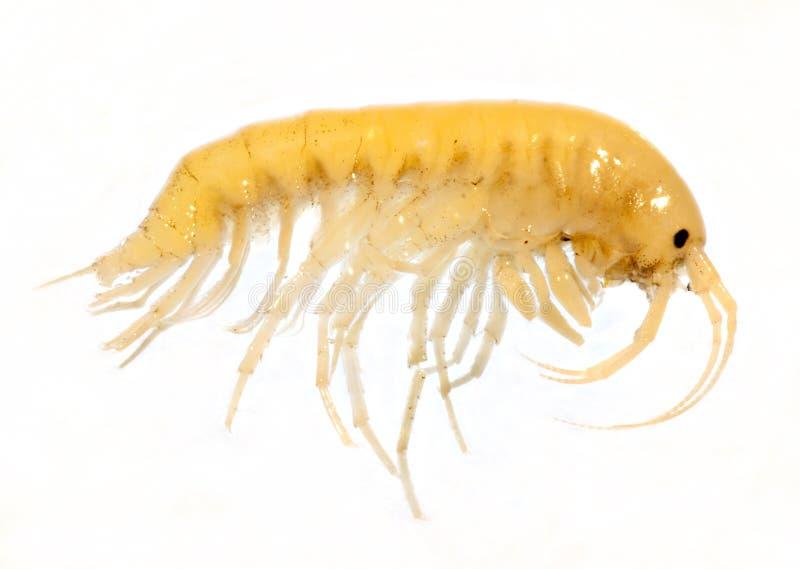 gammarus balcanicus amphipoda crustacean малое стоковая фотография