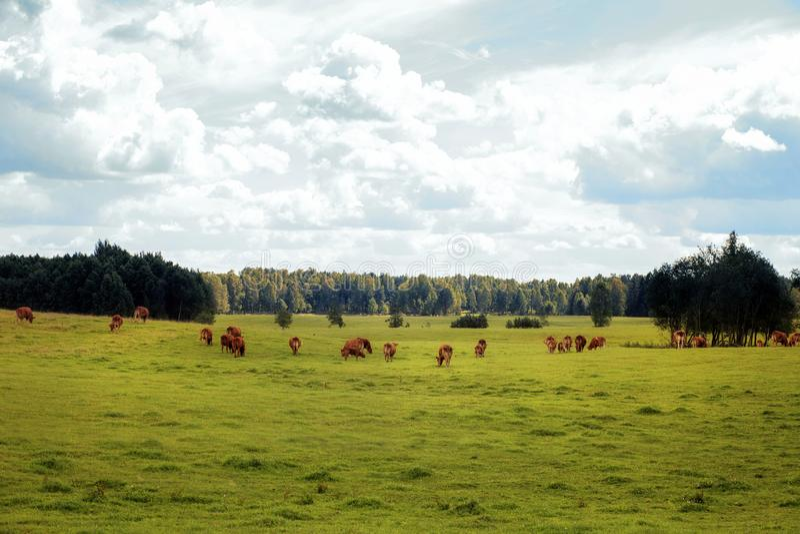 Gamme gratuite des bétail image stock
