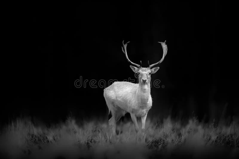 Gamos brancos Buck Standing em preto e branco imagem de stock