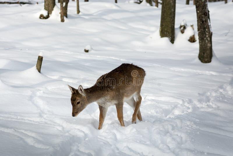 Gamos muito novos que andam na neve foto de stock royalty free