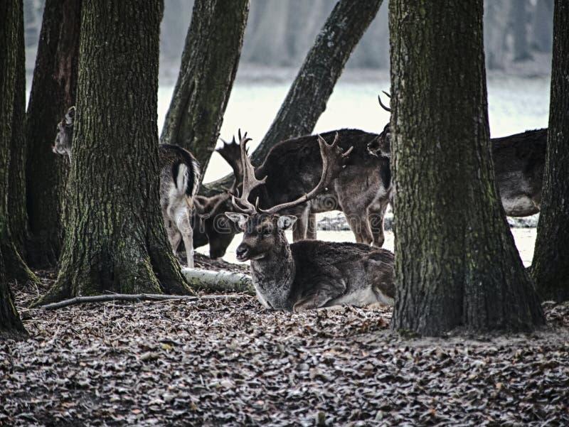 Gamos que alimentam na floresta na queda fotografia de stock royalty free