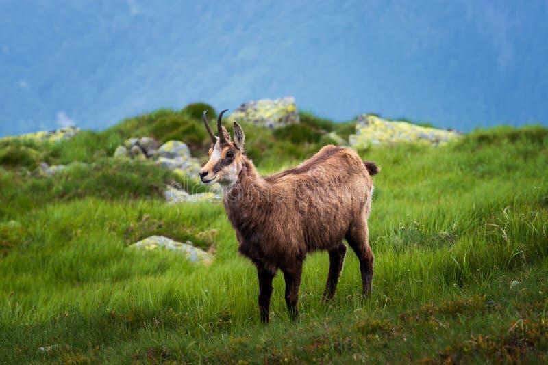 gamuza Cabra-antílope ágil encontrado en montañas de Europa fotografía de archivo libre de regalías