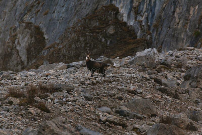 Gamuza/cabra de montaña salvajes en Austria fotos de archivo libres de regalías