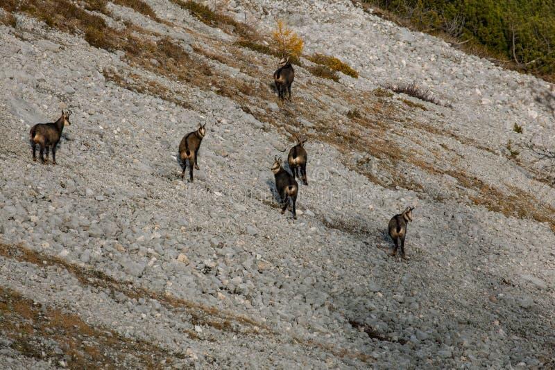 Gamuza/cabras de montaña salvajes en Austria fotos de archivo