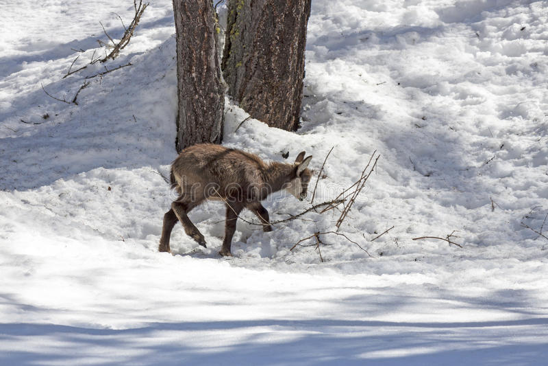Gamuza del perrito, parque nacional, Aosta imagen de archivo