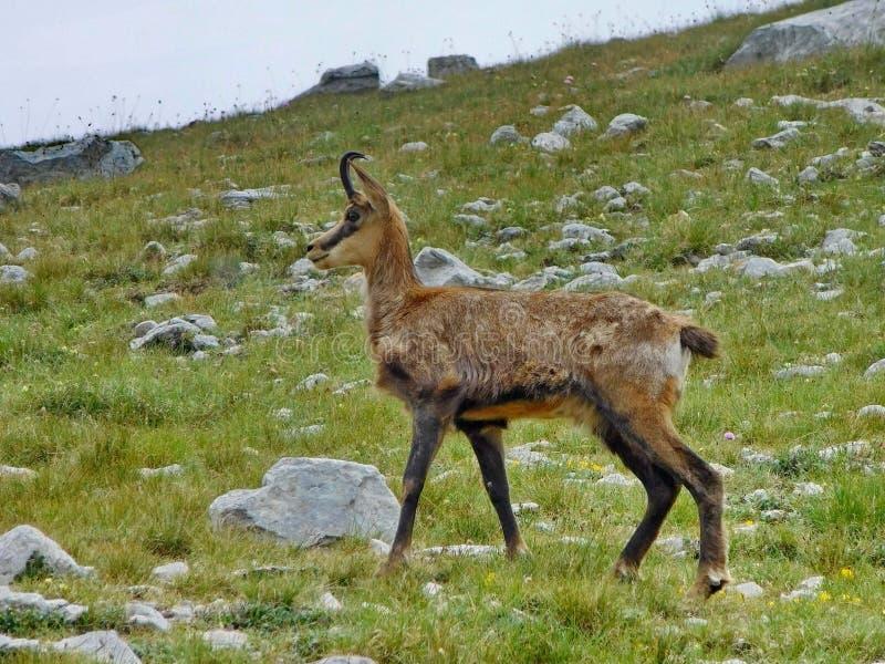 Gamuza en el parque nacional de Pirin cerca de Vihren fotografía de archivo