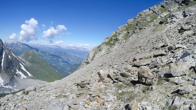 Gamuza que pasta en la roca del macizo de Mont Blanc imagenes de archivo