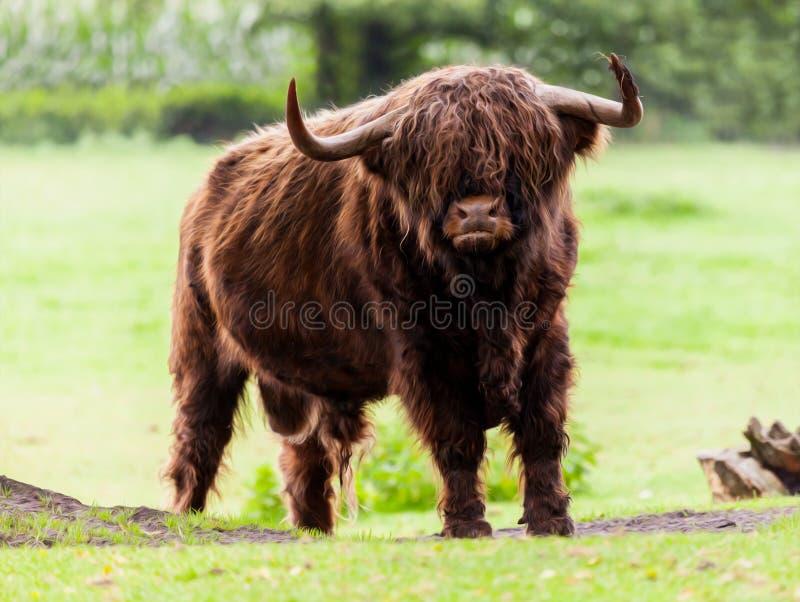 Ganado Bull de la montaña foto de archivo libre de regalías