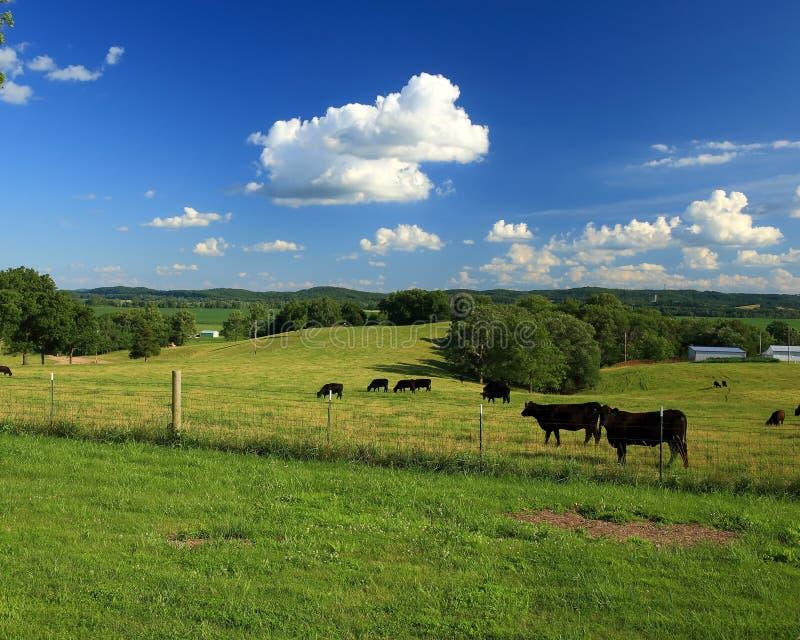 Ganado de Angus en Missouri rural imagen de archivo