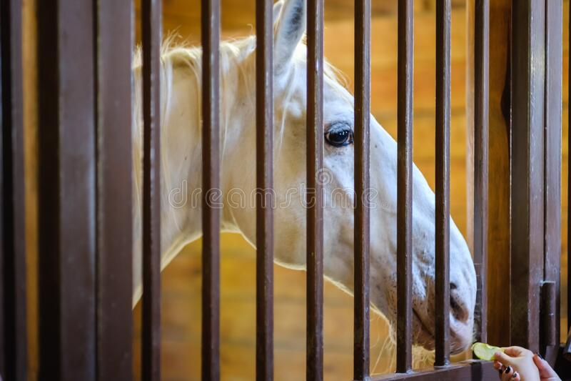 Ganado de granja estable de caballos, mare equino imagenes de archivo