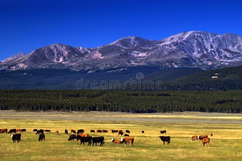 Ganado en el rango de Colorado fotografía de archivo libre de regalías