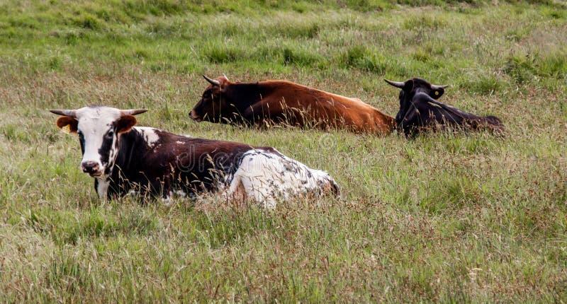3 ganado libre de la gama que se sienta en un campo herboso alto fotografía de archivo libre de regalías
