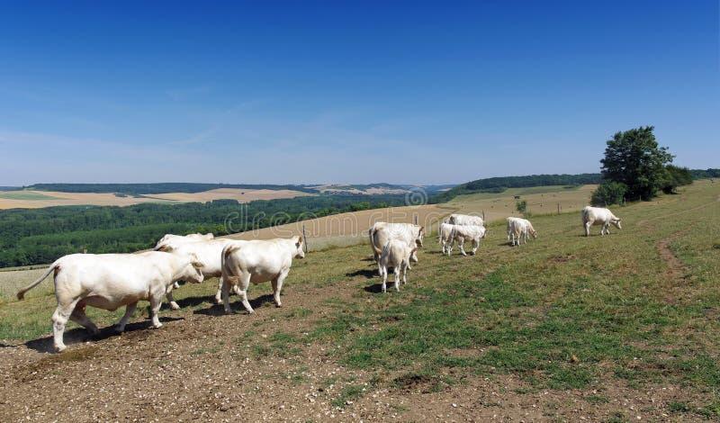 Ganado y cultivo en la región de ÃŽle de Francia foto de archivo libre de regalías