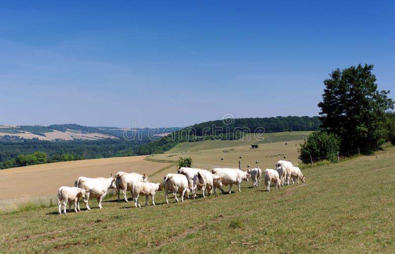 Ganado y cultivo en la región de ÃŽle de Francia imagen de archivo libre de regalías