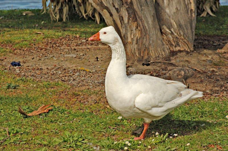 Gander do pato bravo europeu fotos de stock