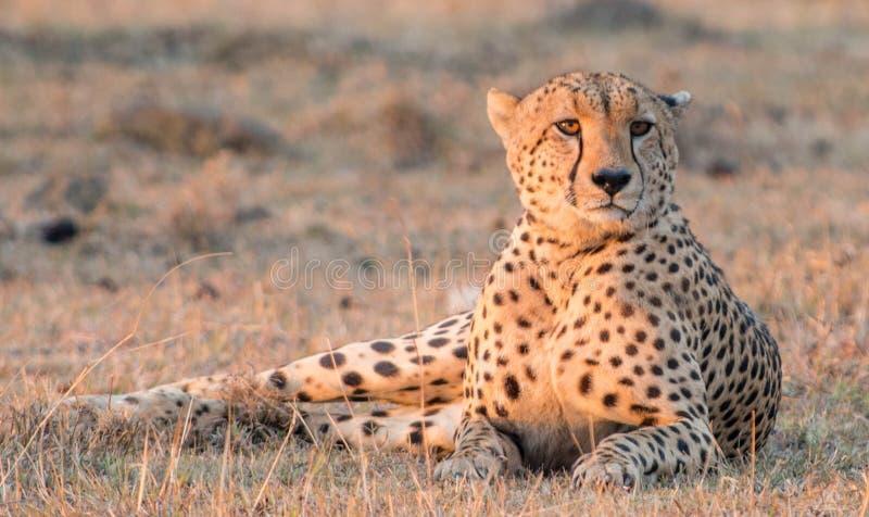 Gandulear el guepardo fotografía de archivo