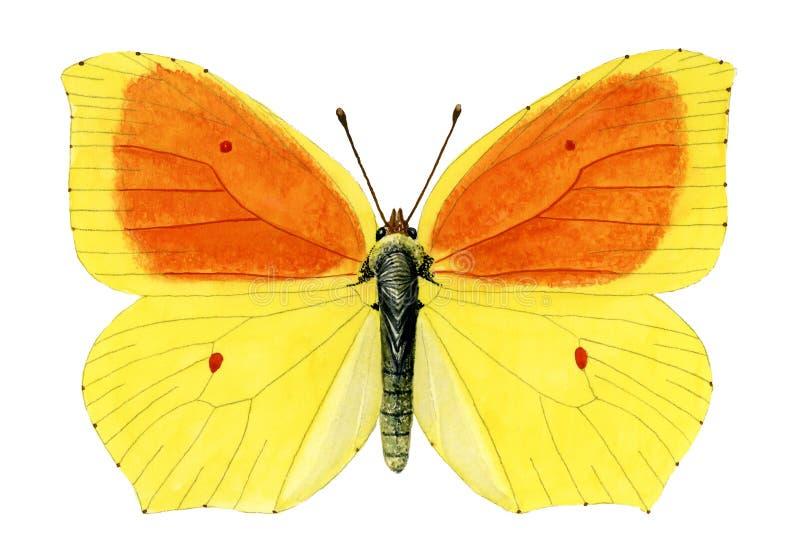 Download Ganepteryx帕特拉balearica 库存例证. 插画 包括有 海岛, 本质, 蝴蝶, 昆虫, 昆虫学 - 30326779