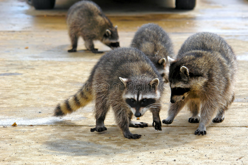 Download Gang of coons stock image. Image of damaged, raccoons - 3753969