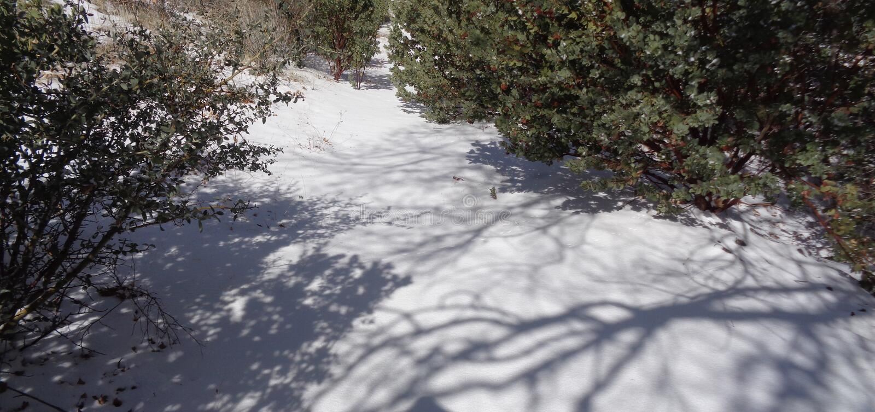 Gang door de Sneeuw, Roze Manzanita-Arctostaphylos Pringlei stock foto