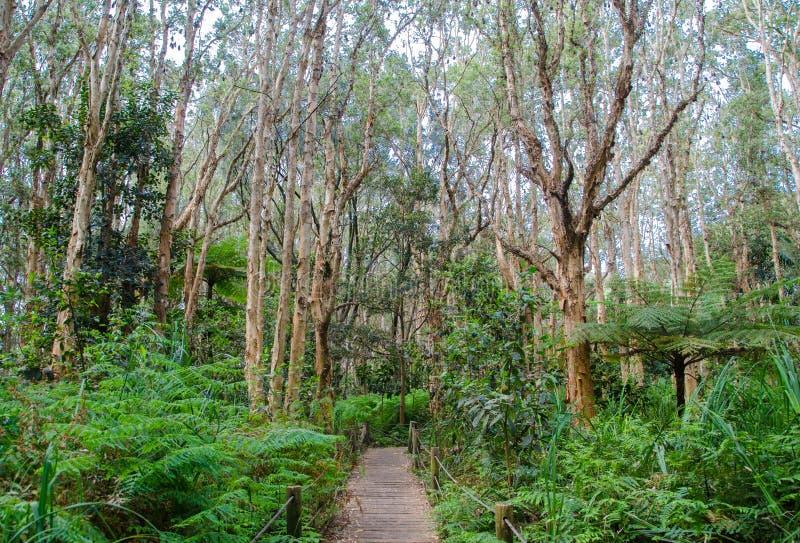 Gang houten promenade in het altijdgroene bos bij het honderdjarige park van Sydney royalty-vrije stock afbeelding