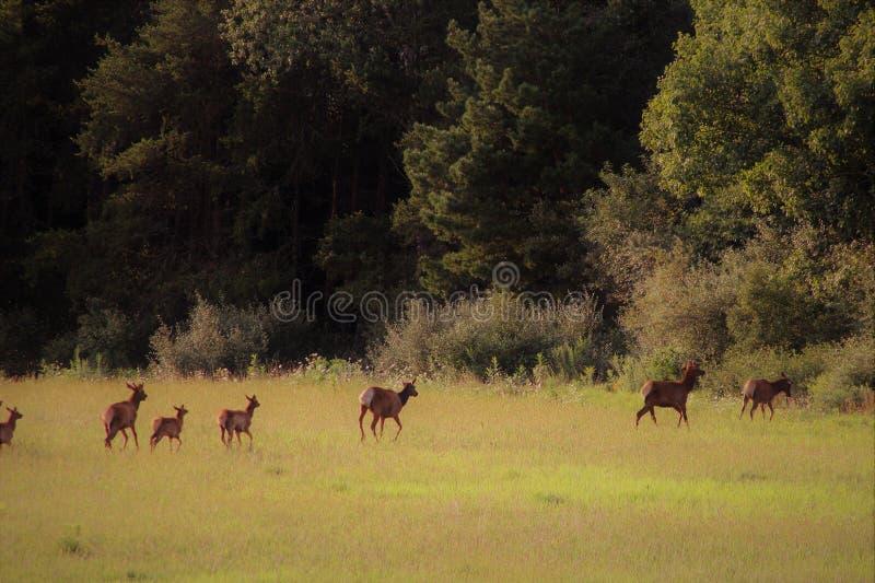 Gang krowy kobieta i łydki dziecka łoś loping przez pole w kierunku lasu obraz stock